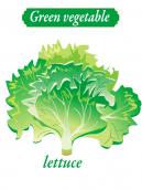 Green vegetable - Lettuce